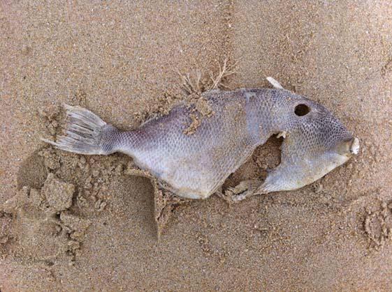 peau-de-poisson